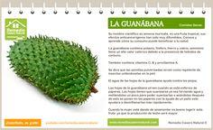 Conoce las grandes bondades de la guanábana, sus beneficios, sus nutrientes y sus grandes propiedades.