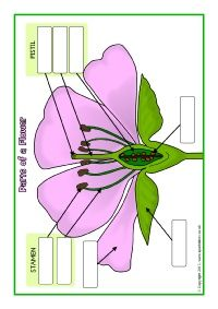 Spelling Worksheet Templates Celebrate Earth Day With This Worksheets Label The Parts Of The  Multiply By 2 Digit Numbers Worksheet Excel with Genetics Challenge Worksheet Answers Excel Parts Of A Plant And Flower Postersworksheets Sb  Sparklebox Free Scientific Method Worksheets Excel
