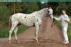 Knabstrup - gelding Castor IV
