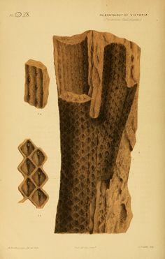 Lepidodendron (Bergeria) Australe. Prodromus of the paleontology of Victoria v.1 (1874) Melbourne :G. Skinner, acting government printer;1874- Biodiversitylibrary. Biodivlibrary. BHL. Biodiversity Heritage Library