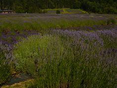 Pelindaba Lavender Farm San Juan Island photo by Joanne