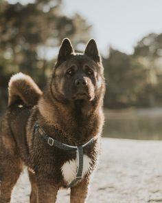 Harnais Léon par @lemusofrancais Akita Puppies, Akita Dog, Dogs And Puppies, Japanese Akita, Japanese Dogs, Big Dogs, Cute Dogs, Cane Corso Dog, American Akita