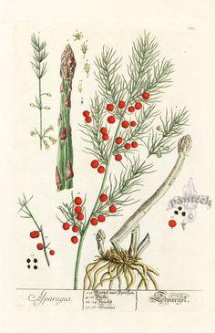 Elizabeth Blackwell Curious Herbal Prints 1757