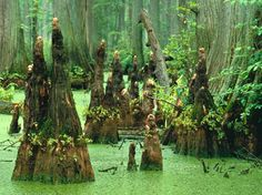 Bald cypress prefer wet, swampy soils (on riverbanks, floodplains, or wet depressions) but are widely adaptable. Cypress wood is very resistant to decay and the wood is considered valuable for a variety of products.