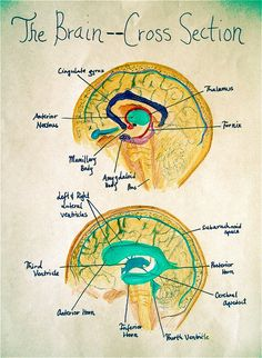 Drawing with Hand, Head and Heart: Beyond the Right Side of the Brain Teaching Jobs, Teaching Science, Teaching Resources, Brain Drawing, Book Drawing, Brain Anatomy, Human Anatomy And Physiology, Chalkboard Drawings, Chalk Drawings