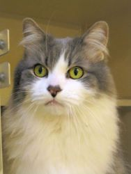 Adopt Camelot @ Feline Rescue, StPaul,MN. He is a stunningly beautiful adult male cat, fully vetted, very affectionate, likes being held. Amazing fluffy mane and tail.