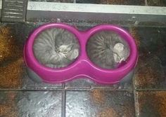 "I think these two kitties are determined that they won't miss out at mealtimes! Or is it that famous cat meme ""if I fits I sits"" !!"