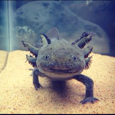 Axolotl - sweet little salamander