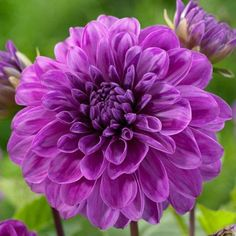 Giant Flowers, Cut Flowers, Beautiful Flowers, Dahlia Flowers, Homemade Water Fountains, Purple Dahlia, Purple Flowers, Best Perennials, Tulip Bulbs