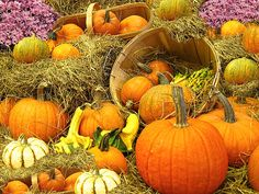 Pumpkin Harvest in the Countryside