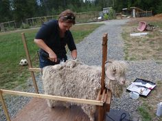 ~ Humming Bee Farm ~ shearing an Angora goat, this simple stanchion would be helpful...