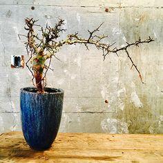 Commiphora africana -no.4- - aneapeeps 32000