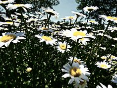 The Sky Awaits - Jon Lander ©2015 - hang on, Spring will surely come - daisies