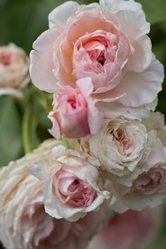 'James Galway' | Climber, Shrub. English Rose Collection. Bred by David C. H. Austin (United Kingdom, 2000)