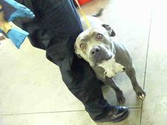 Pictures of RITA a American Pit Bull Terrier for adoption in Phoenix AZ who needs a loving home. #PitBullPictures