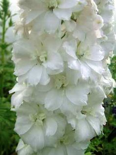 Collected Delphinium Seed - See our range of seed in the Larkspur Nursery Seed Store Garden Landscape Design, Garden Landscaping, Landscape Designs, White Flowers, Beautiful Flowers, Grass Seed, White Eyes, White Gardens, Ornamental Grasses