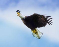 """""""Soaring Eagle"""""""