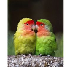 lovebirds - want <3