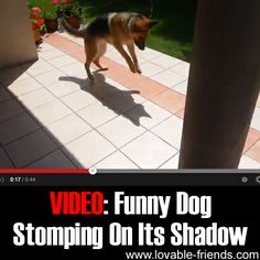 You'll love this adorable and funny video of a German Shepherd that loves to pounce on it's own shadow!