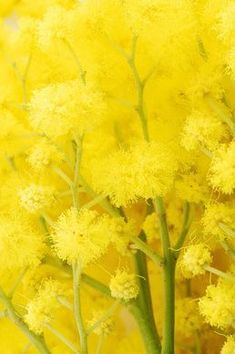 ♥ Acacia ..yellow Mimosa.....gorgeous but highly allergic to it << yellow >><< yellow >>