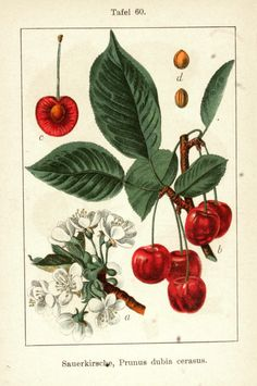 Germany's flora in illustrations - Vintage cherry drawing - Vintage Botanical Prints, Botanical Drawings, Botanical Art, Vintage Art, Vintage Botanical Illustration, Vintage Drawing, Vegetable Illustration, Nature Illustration, Cherry Drawing