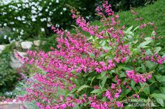 Salvia chiapensis  Chiapas Sage --I like using this because it looks good all year/doesn't die down like most salvias