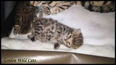 Chaton Bengal Brown Cats, Animals, Gatos, Animales, Kitty Cats, Animaux, Animal Memes, Cat Breeds, Kitty