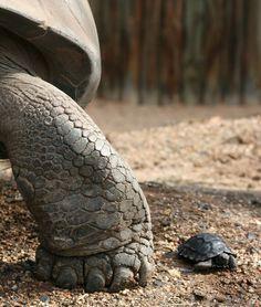 Very cool. Big tortoise, little tortoise.