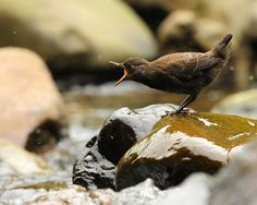https://flic.kr/p/9kCuia | Hungry~ Hungry~ | 河烏 Brown Dipper ...  The baby dipper is about 3 weeks old. There are 3 of them from the same brood. Didn't see the other two. I hope they are all safe and well.
