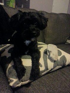 That's my sock! #poodle #shihtzu = #shihpoo