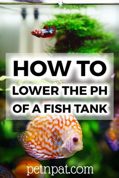 What's the best natural way to lower the ph in your aquarium? There are some great cheap (even FREE) ways to softer water for your fish ==> Tropical Fish Aquarium, Tropical Fish Tanks, Aquarium Fish Tank, Aquarium Stand, Fish Tank Accessories, Pet Accessories, Fish Tank Sizes, Fish Tank Themes, Aquarium Design