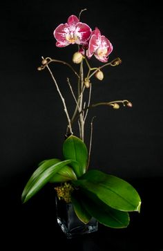 This is a spotted pink phalaenopsis orchid plant.  See our entire selection at www.starflor.com.  To purchase any of our floral selections, as gifts or décor, please call us at 800.520.8999 or visit our e-commerce portal at www.Starbrightnyc.com. This composition of flowers is generally available for same day delivery in New York City (NYC). OP035