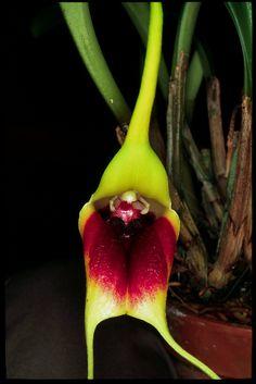 Masdevallia elephanticeps orchid