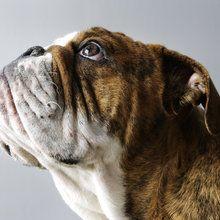 Lerretsbilde - English Bulldog