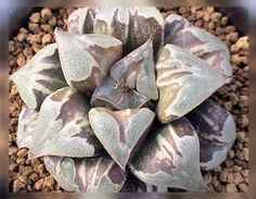 Haworthia,I-don't-know. Beautiful though. The Japanese growers seem to have many many white or white parti Haworthia varieties!