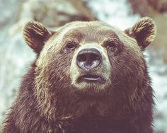 Hey, I found this really awesome Etsy listing at https://www.etsy.com/listing/214189536/bear-animal-photography-nature-print