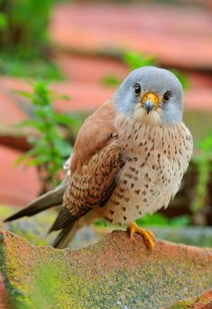 Find and save ideas about Colorful birds, Pretty birds, Beautiful birds and Tropical birds. Kinds Of Birds, All Birds, Little Birds, Birds Of Prey, Love Birds, Angry Birds, Pretty Birds, Beautiful Birds, Animals Beautiful