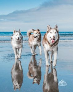 """1,402 Likes, 15 Comments - The Huskies diary (@huskiesdiary) on Instagram: """"Summer day What a gorgeous shot captured by @huskysquad Tag #huskiesdiary in your photos. I will…"""""""