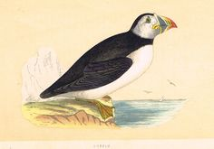"""Beautiful birds from """"A HISTORY OF BRITISH BIRDS"""" by Rev. O.M. Morris (1810-1893) the famous Irish ornithologist and entomologist. Published by Bell & Daldy of London in 1895. Reverend Francis Orpen M"""