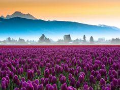 Tulip field, Skagitt Valley, Washington, USA