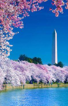 Cherry Blossom Festival (Washington,DC) ♥♥