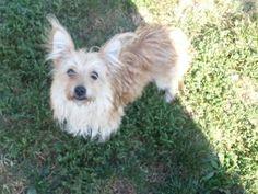 Petfinder  Adoptable | Yorkshire Terrier Yorkie | Dog | Belleville, IL | Peanut Butter