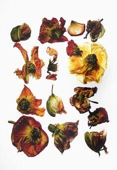 Irving Penn - Flowers | Hamiltons