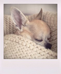 Effective Potty Training Chihuahua Consistency Is Key Ideas. Brilliant Potty Training Chihuahua Consistency Is Key Ideas. Teacup Chihuahua, Chihuahua Puppies, Cute Puppies, Cute Dogs, Dogs And Puppies, Doggies, Chihuahua Terrier, Animals And Pets, Baby Animals