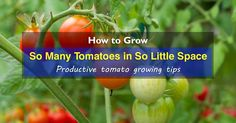 What is the best way to grow tomatoes to get so many in so little space? You want to know for sure. In these 23 tips, you'll find out how to do this.