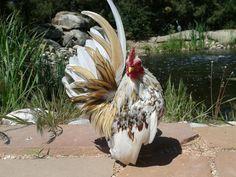 Serama | Chickens | Breed Information | Omlet US