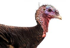 Wild Turkey on the Rocks?  The reintroduction of America's beloved holiday fowl has been one of conservation's great triumphs--but now som...