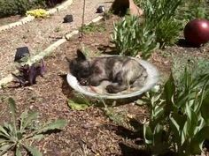 Abby is just plum tuckered out from helping Sheryl in the garden. The bird bath looked like the perfect place for a nap!