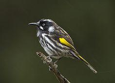 El mielero de Nueva Holanda o pájaro azúcar de alas amarillas (Phylidonyris novaehollandiae)2 3 es una especie de ave paseriforme de la familia Meliphagidae encontrada en el sur de Australia.