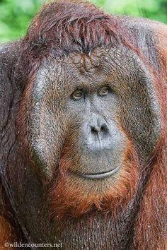 De orang-oetans Volwassen mannetjes kan je herkennen aan hun enorme grootte, keelzak en hun stevige wangzakken aan beide zijden van hun gezicht © www.wilden...